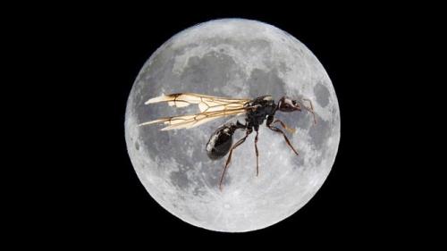 Moon Ant